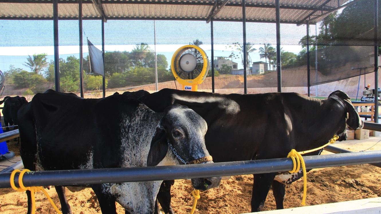 Ordenha e pesagem do concurso leiteiro movimenta a III Feira de Agronegócios da Universidade Nilton Lins